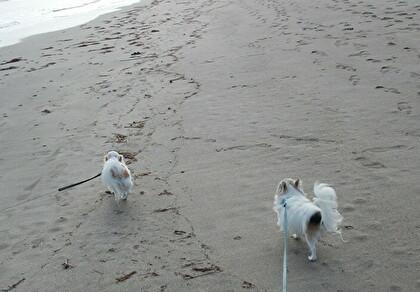 砂浜を散歩するチワワーズ