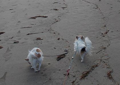 砂浜を散歩するチワワーズ2