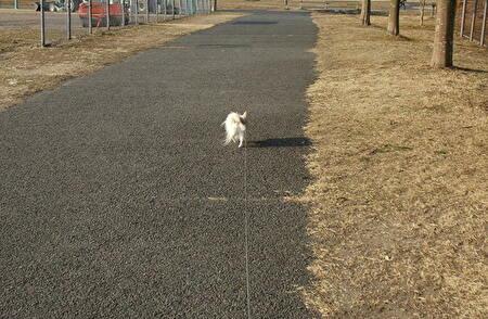 散歩してるさくら2