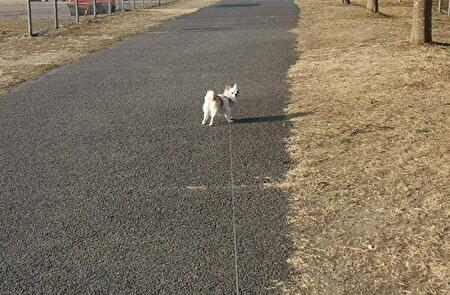 散歩してるさくら