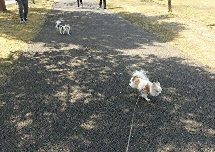 散歩するチワワーズ