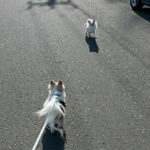 散歩中のチワワーズ1