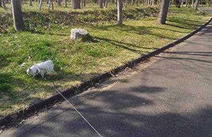 散歩するチワワーズ4