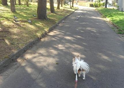 散歩するチワワーズ3