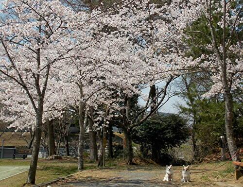 桜とチワワーズ2