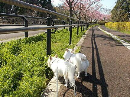 散歩するチワワたち