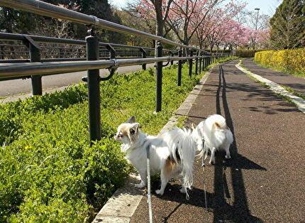 散歩するチワワたち4