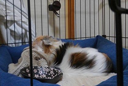 毛布を枕にして寝るハヤテ