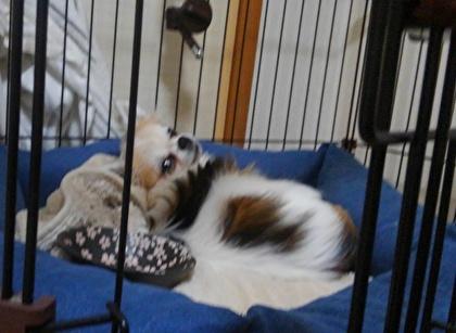 毛布を枕にして寝るハヤテ2