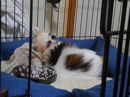 毛布を枕にして寝るハヤテ3