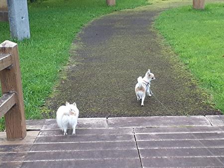 散歩中のチワワたち