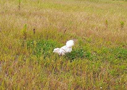 草むらを走るさくら