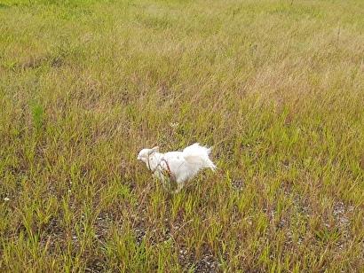 草むらを走るさくら2