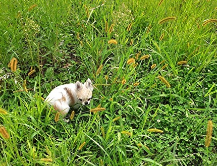 草むらの中のハヤテ