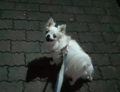 夜散歩のさくら